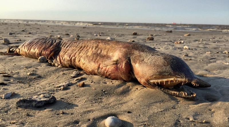 """Ураган """"Харви"""" в Техасе выбросил на пляж неизвестное существо"""