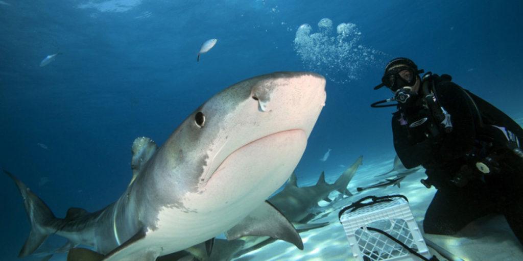 В пасти у тигровой акулы